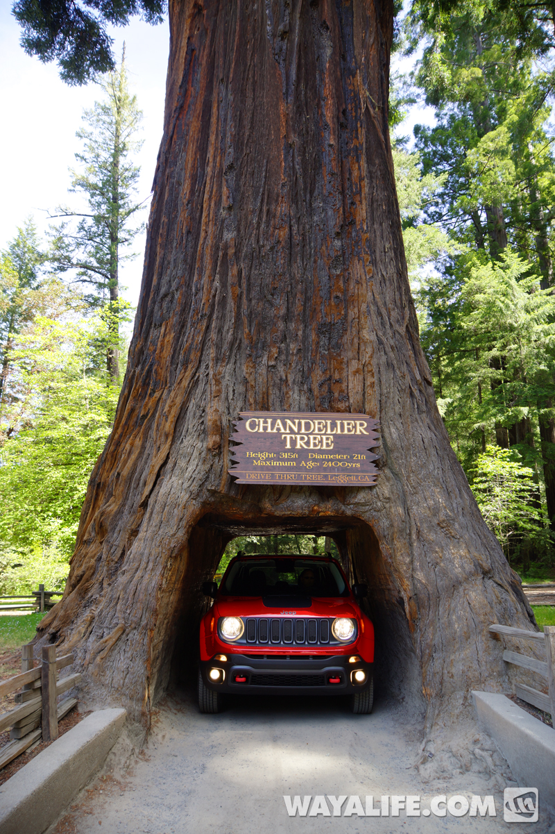 Renny the red jeep renegade in the redwoods next up was the shrine drive thru redwood tree arubaitofo Gallery