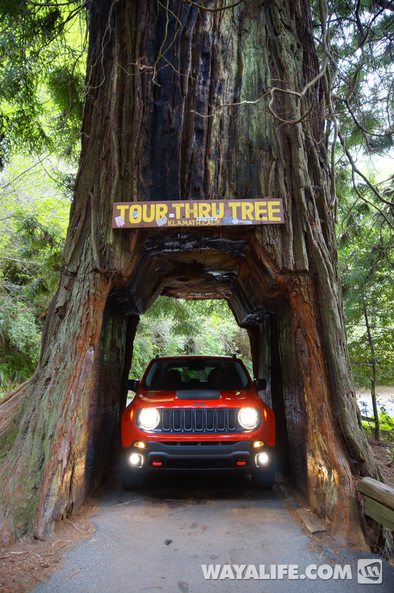 Renny the red jeep renegade in the redwoods heres a side by side comparison shot of all three drive through redwood trees rennyredwood drivethrug arubaitofo Gallery